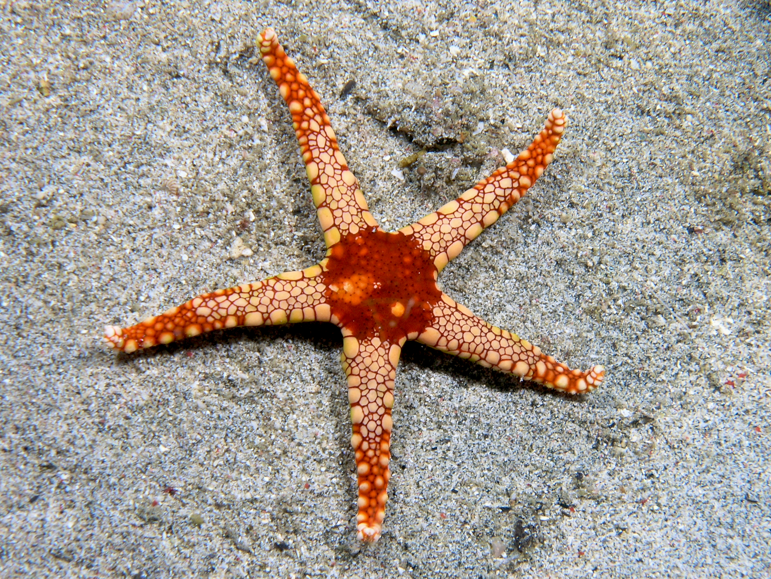 Starfish Wikipedia