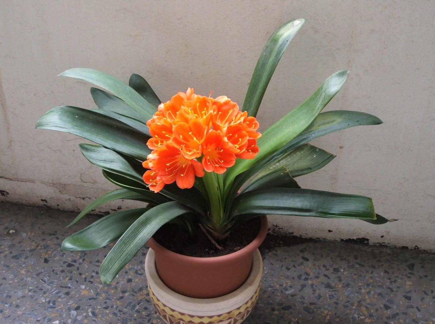 Комнатный цветок кливия и уход за ними