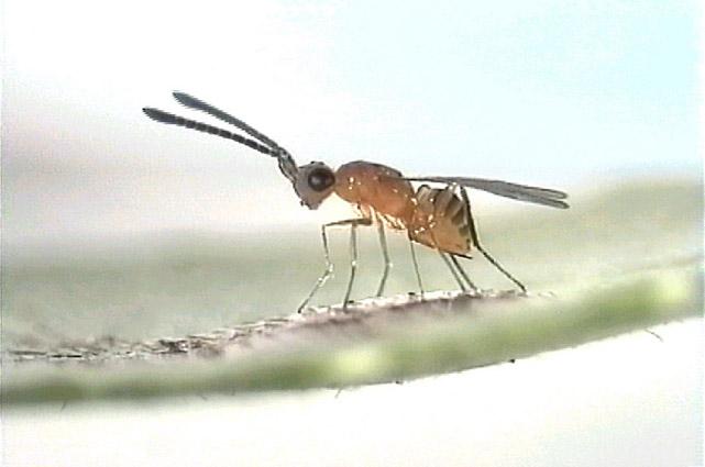 Gonatocerus triguttatus - Wikipedia