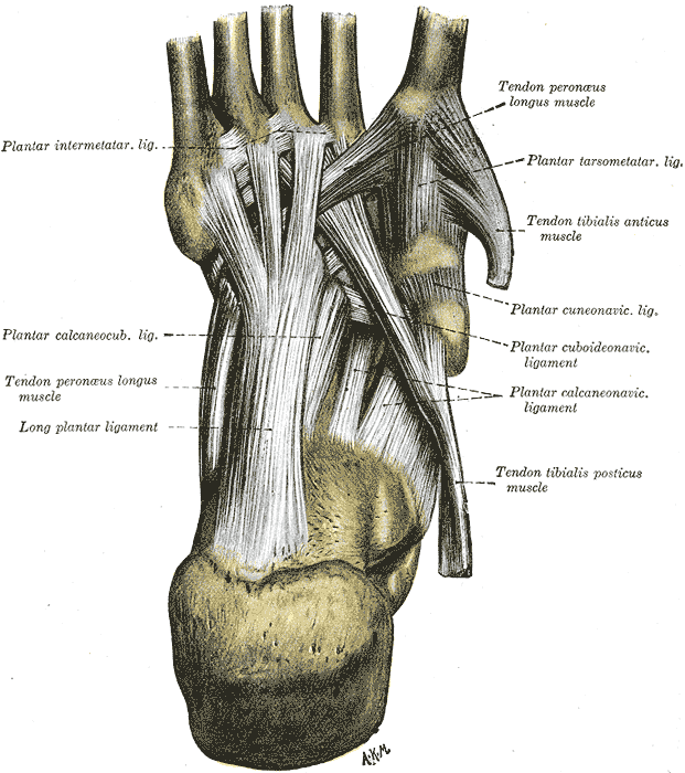 Long plantar ligament - Wikipedia