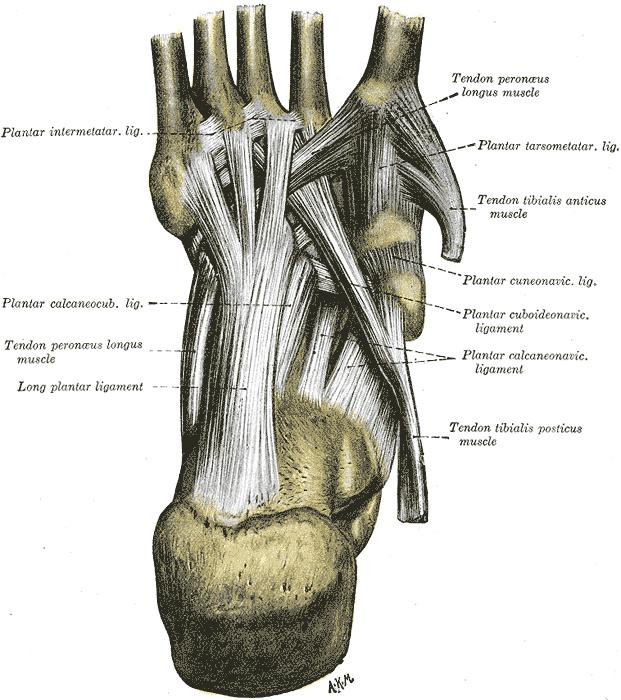 Tarsometatarsal Joints Wikiwand