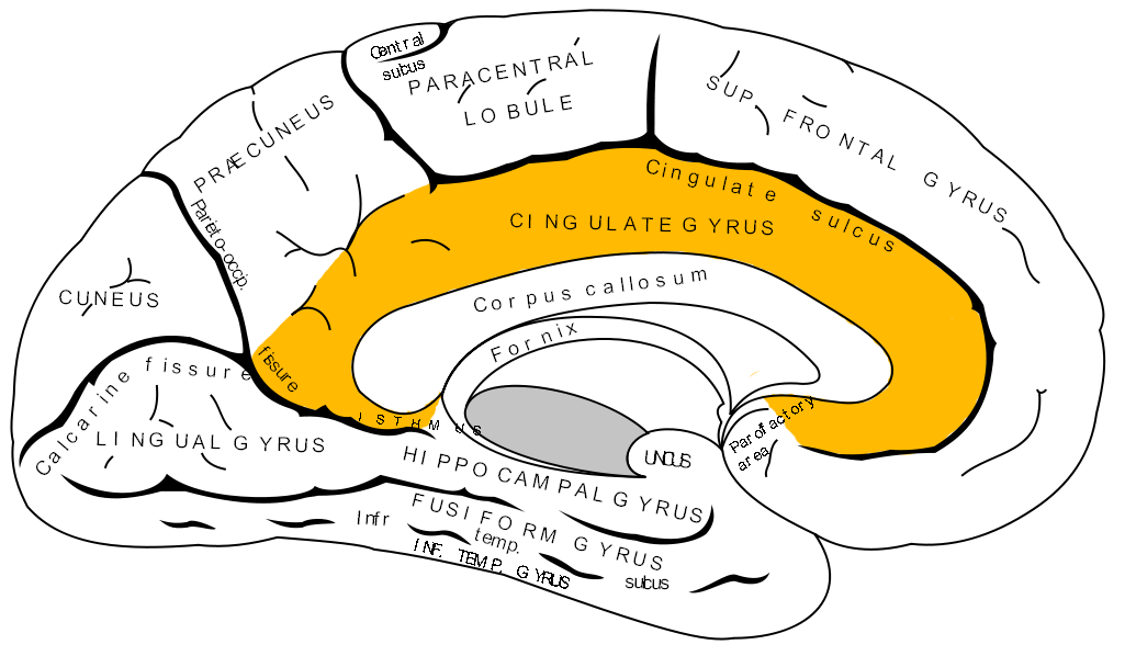 Image result for cingulate control systems