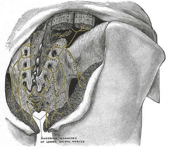 Cluneal nerve anatomy