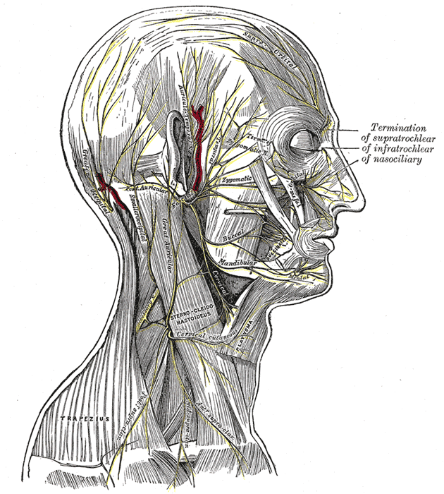 Great Auricular Nerve Wikipedia