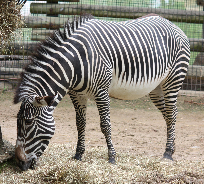 Description Grevy Zebra