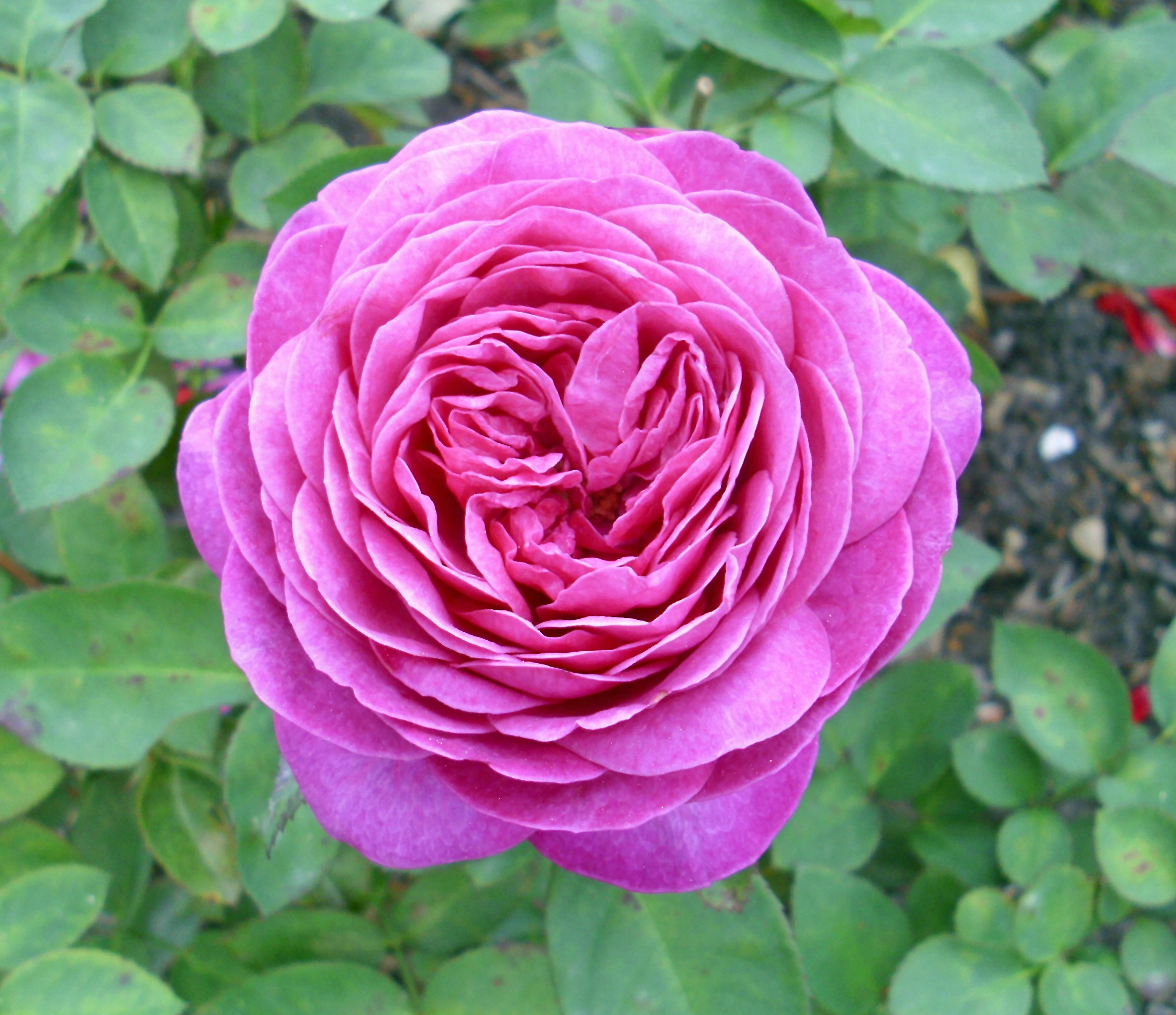 file heidi klum rose tantau 2006 jpg wikimedia commons
