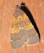 <i>Hydrillodes</i> Genus of moths