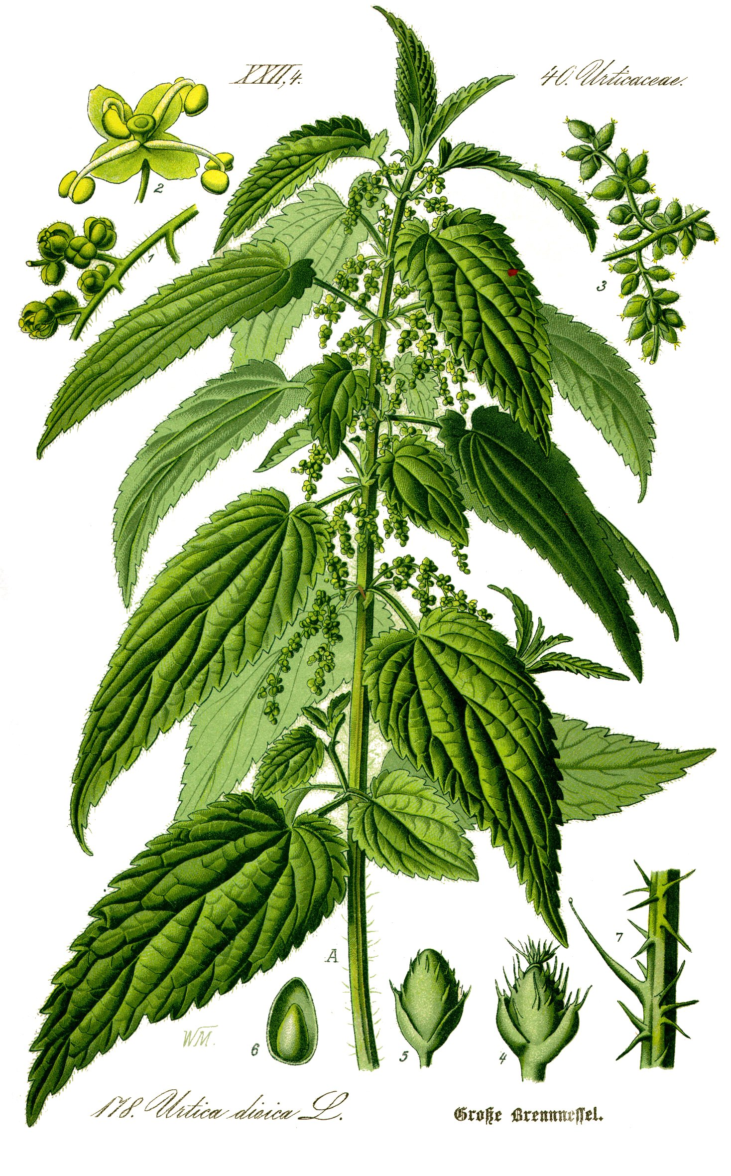 upload.wikimedia.org/wikipedia/commons/d/dc/Illustration_Urtica_dioica0_clean.jpg