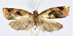 <i>Isodemis quadrata</i> Species of moth