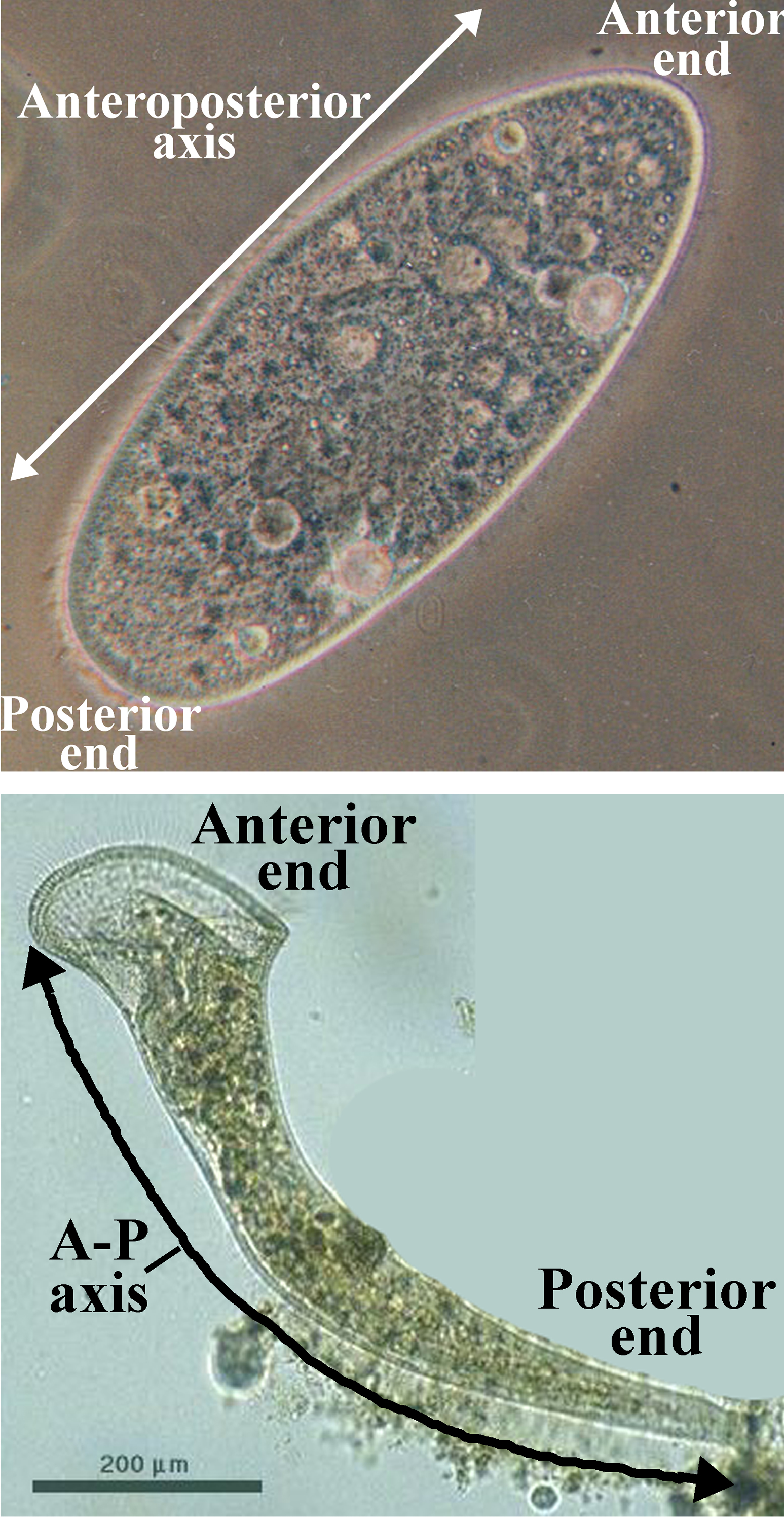 Figure 7: Organisms where the ends of the long axis are distinct. (Paramecium caudatum, above, and Stentor roeseli, below.)