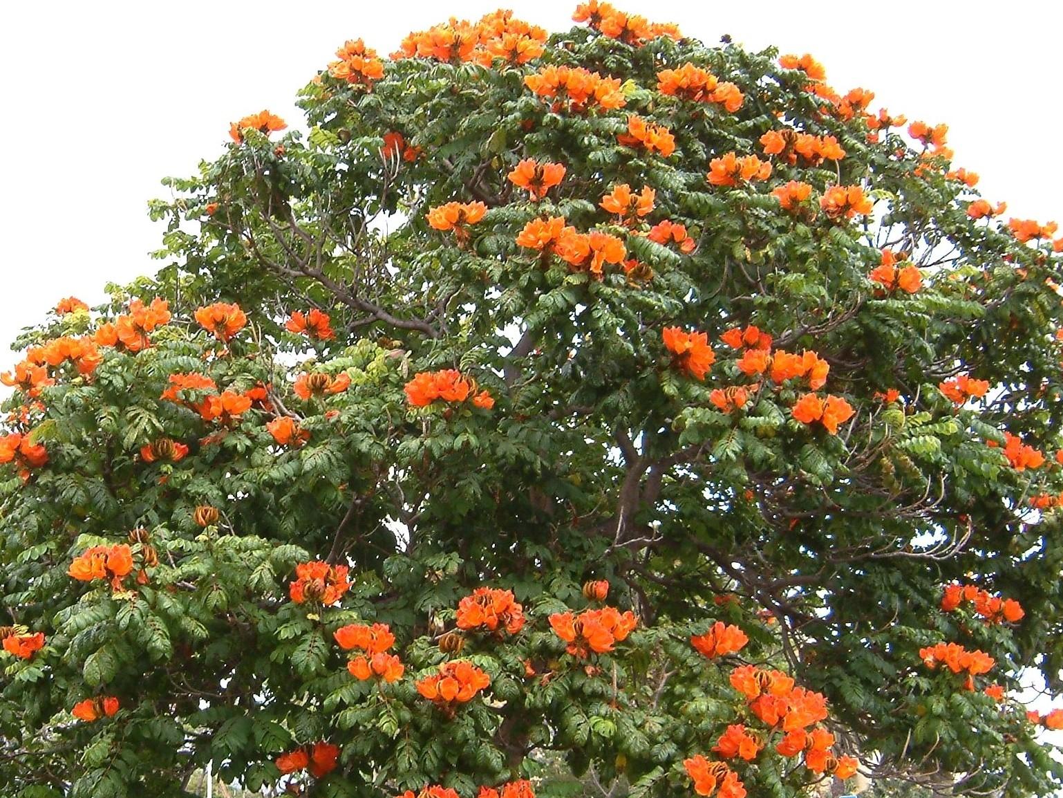 File:Madeira Funchal Afrikanischer Tulpenbaum im Mai 2007 ...