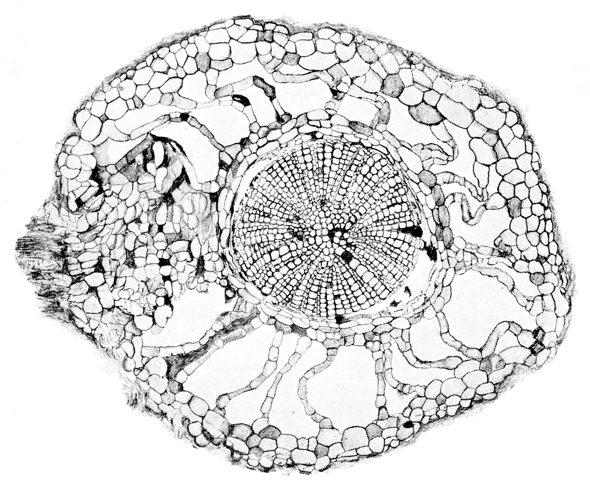 botany coloring pages - file makers of british botany plate 23 root of calamites