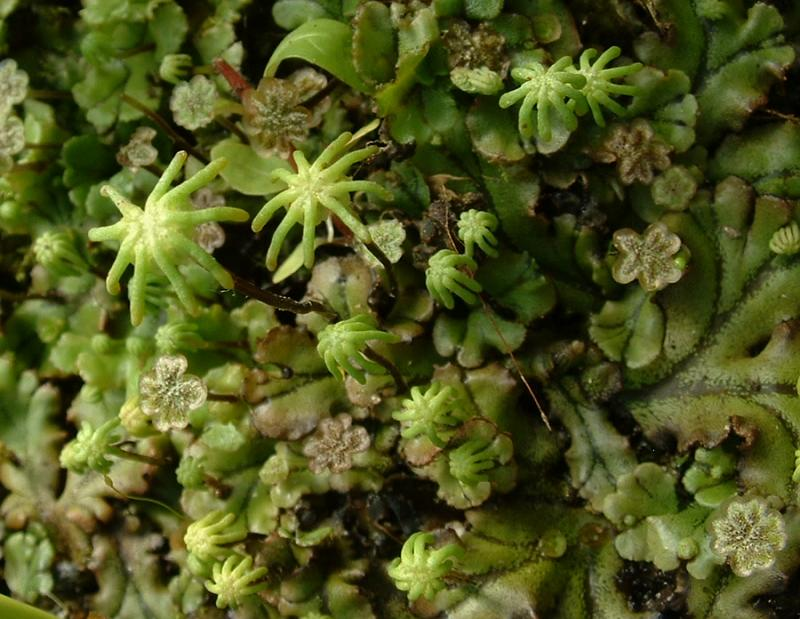 Contoh metagenesis : Marchantia polymorpha, gambar By J.F Gaffard