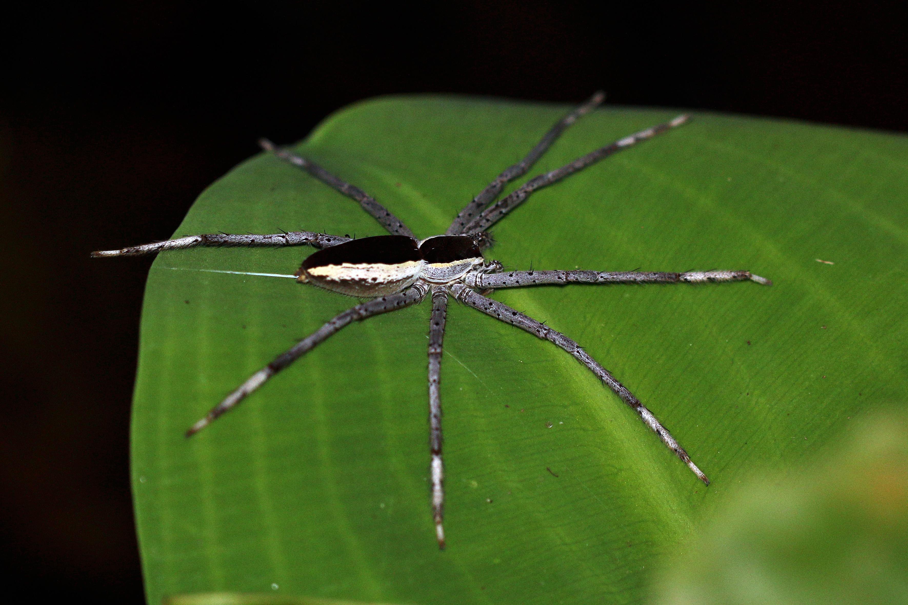 Nursery web spider - Wikipedia