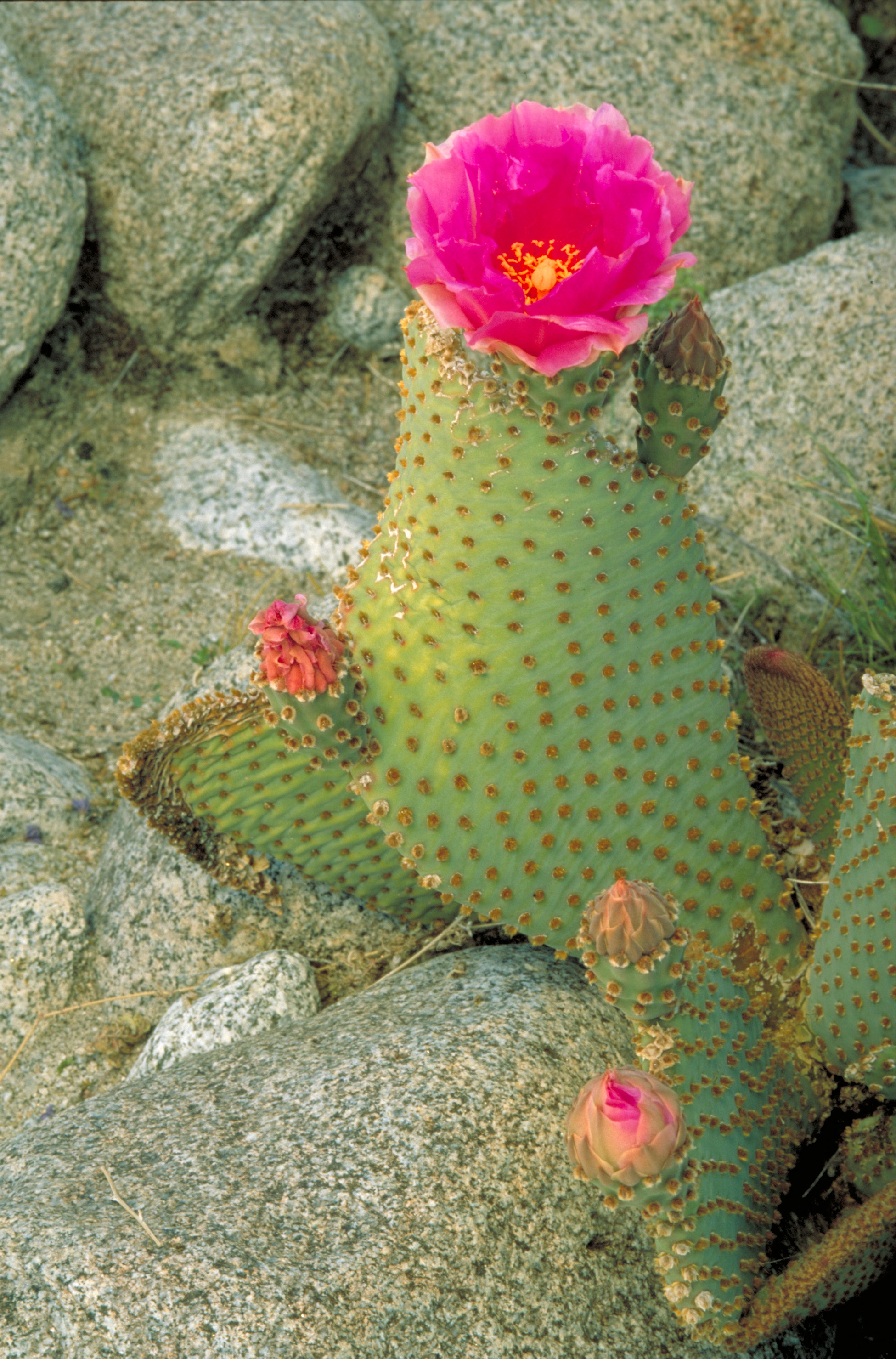 File opuntia basilaris beavertail wikimedia for Cactus variedades