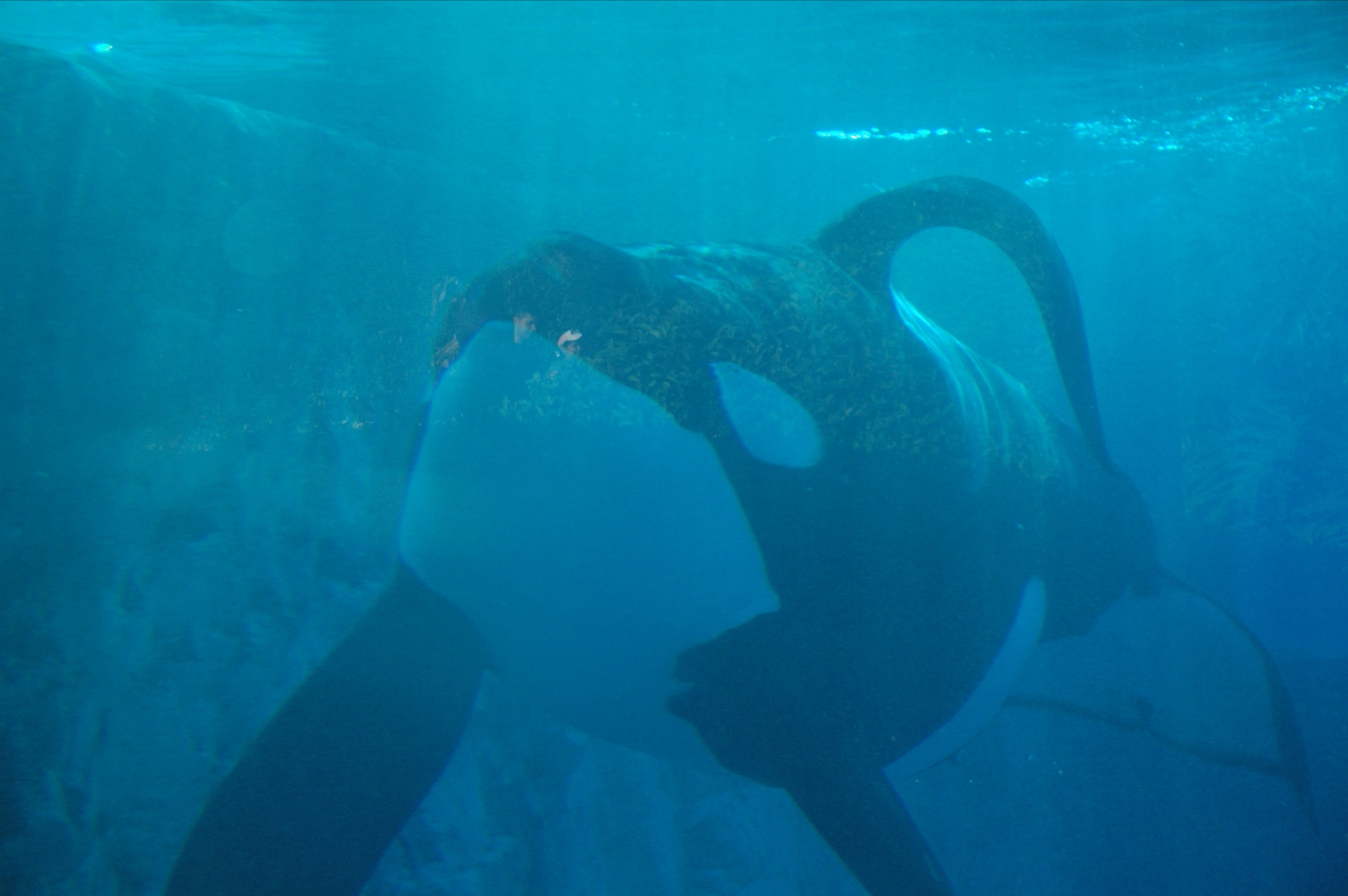 This male (Tilikum), at SeaWorld Orlando, has ...