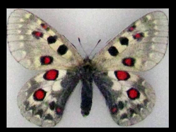 File:Parnassius tianschanicus.png