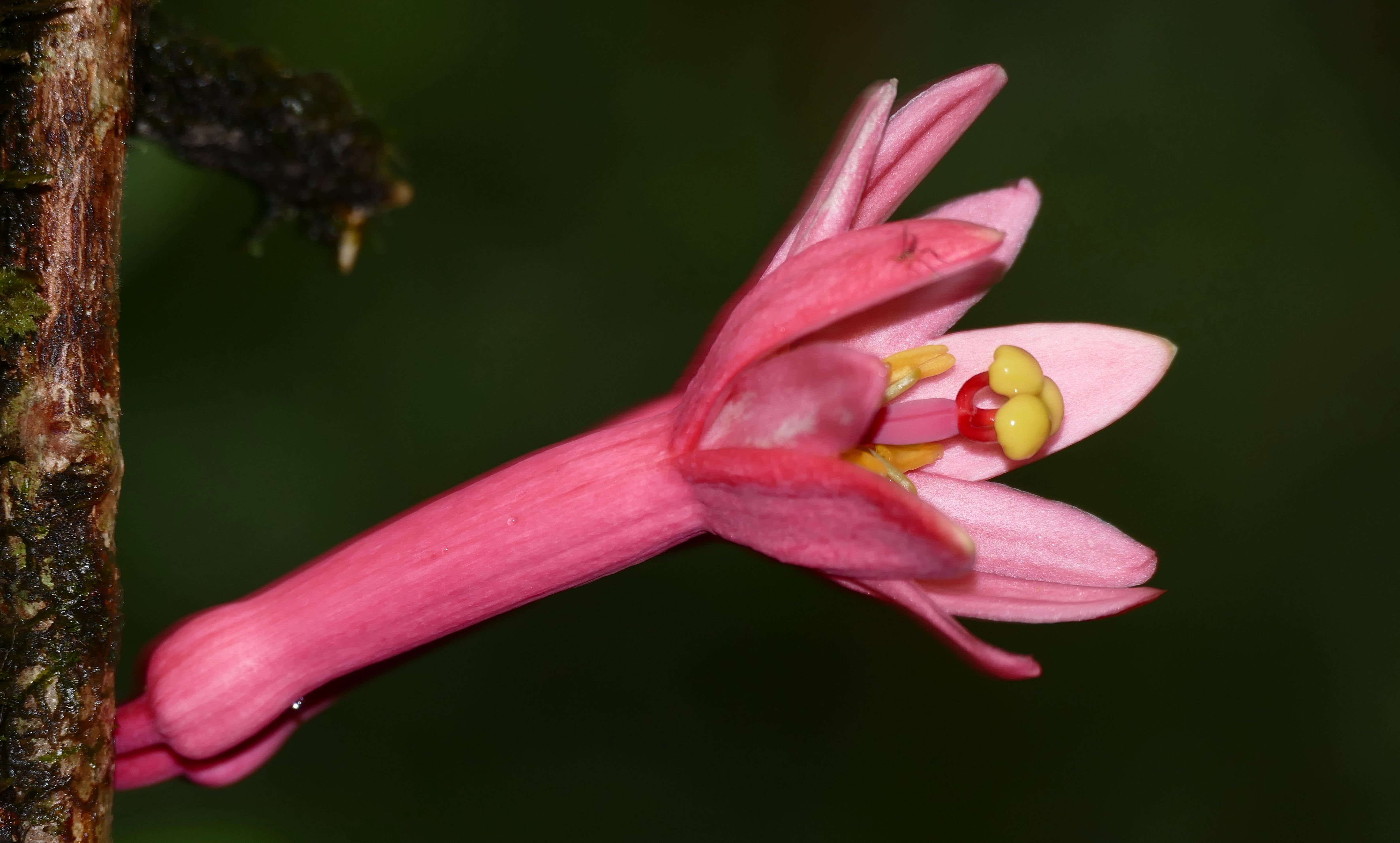 Filepink passion flower passiflora amoena 39555315542g filepink passion flower passiflora amoena 39555315542g mightylinksfo
