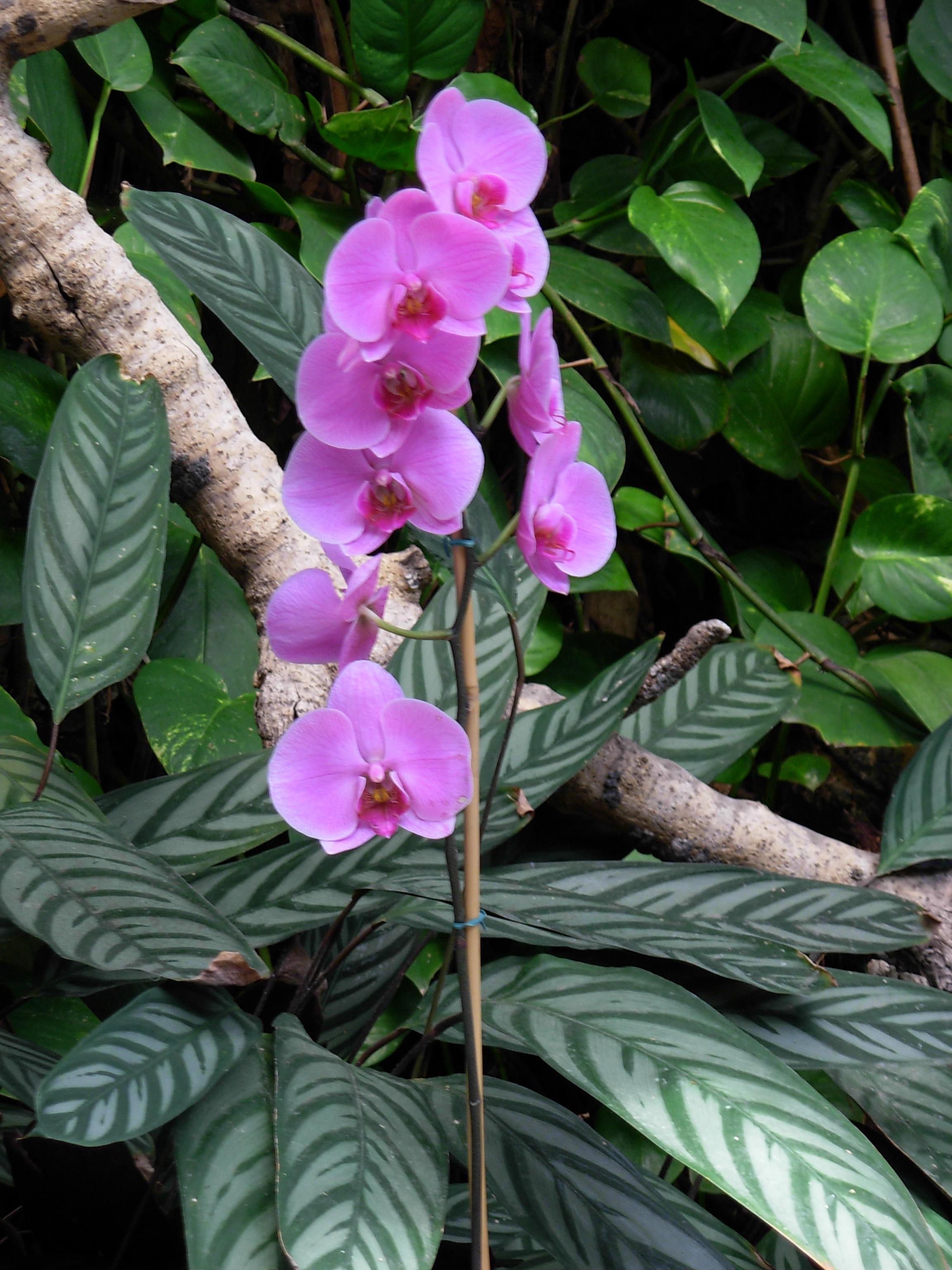 File Pinkish tall flower JPG Wikimedia mons