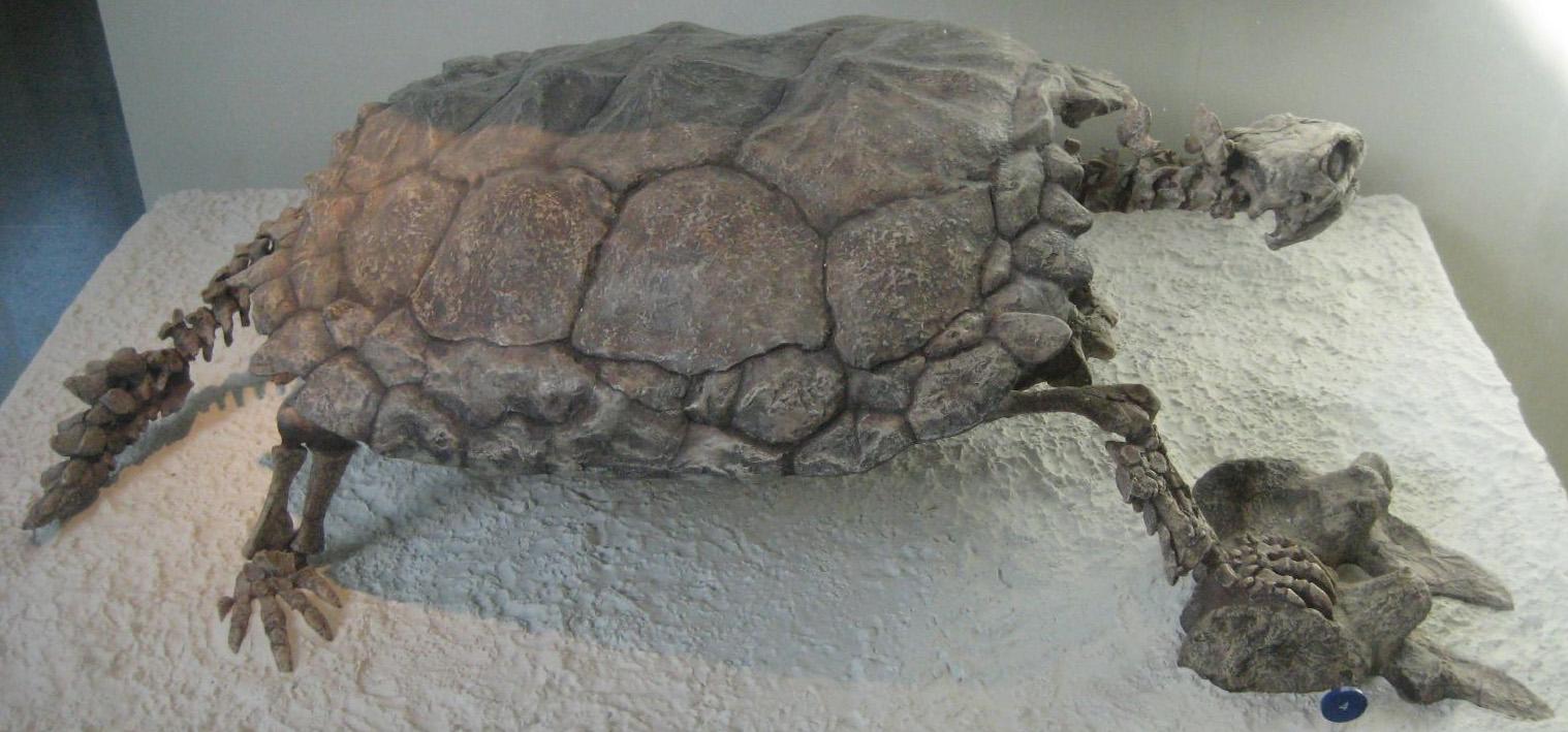 Skelett von Proganochelys quenstedti im American Museum of Natural History