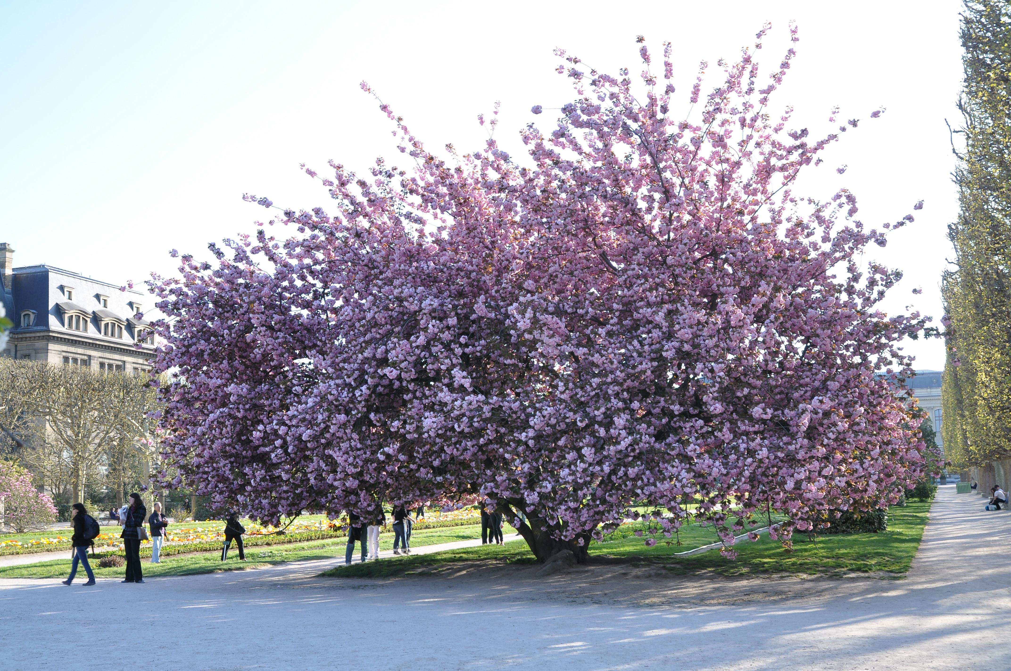 File prunus serrulata 39 kanzan 39 in the jardin des plantes for Jardin 5e paris