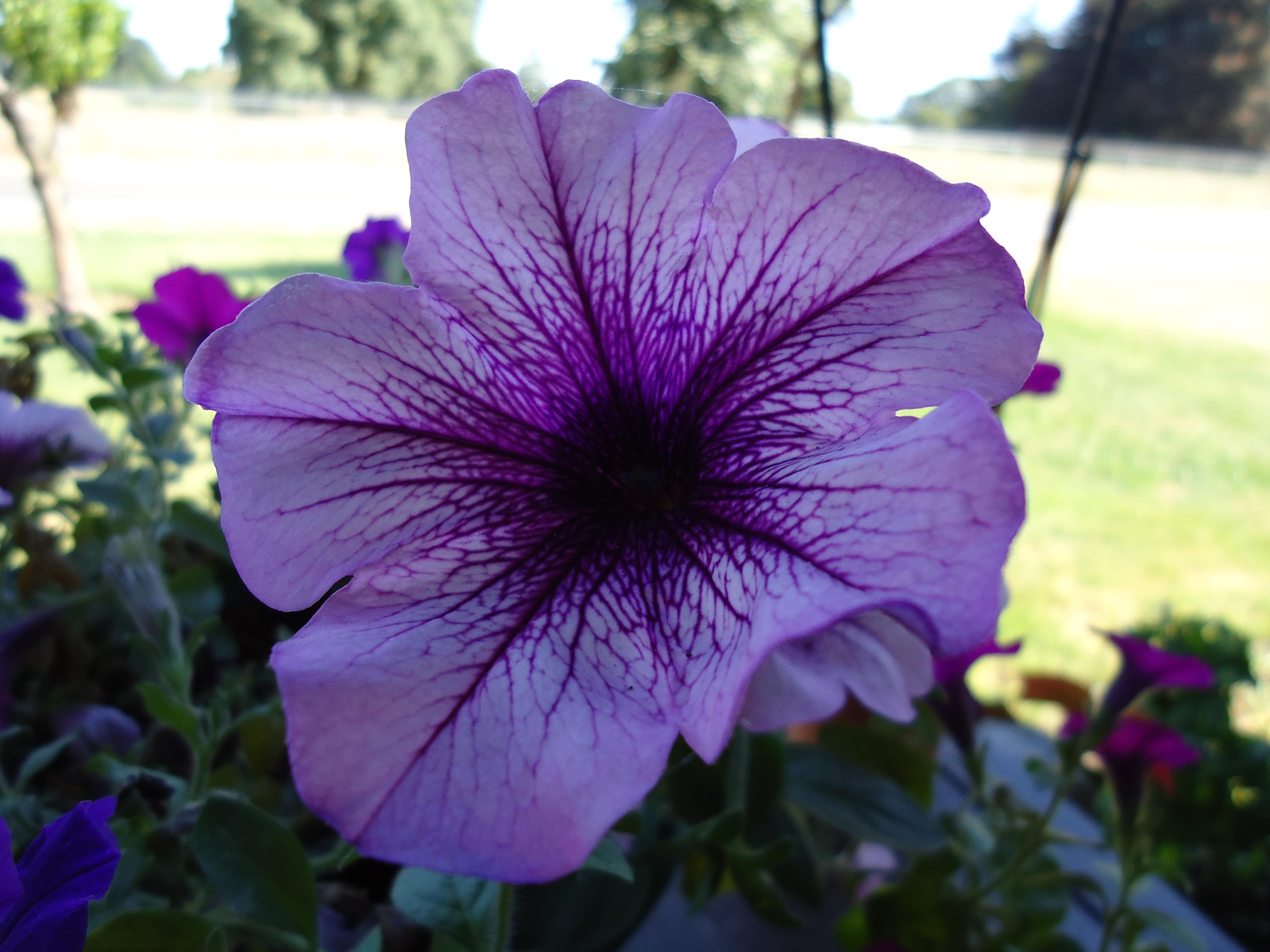 File:Purple Petunia Flower.jpg