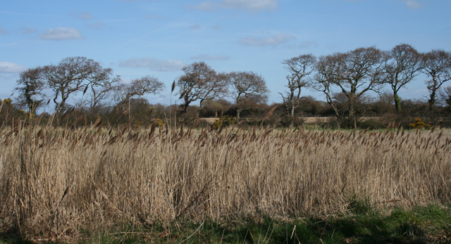 Reeds and trees - geograph.org.uk - 1224046