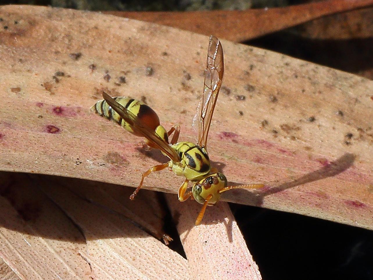 Bộ sưu tập côn trùng 2 - Page 15 Ropalidia_romandi_7283