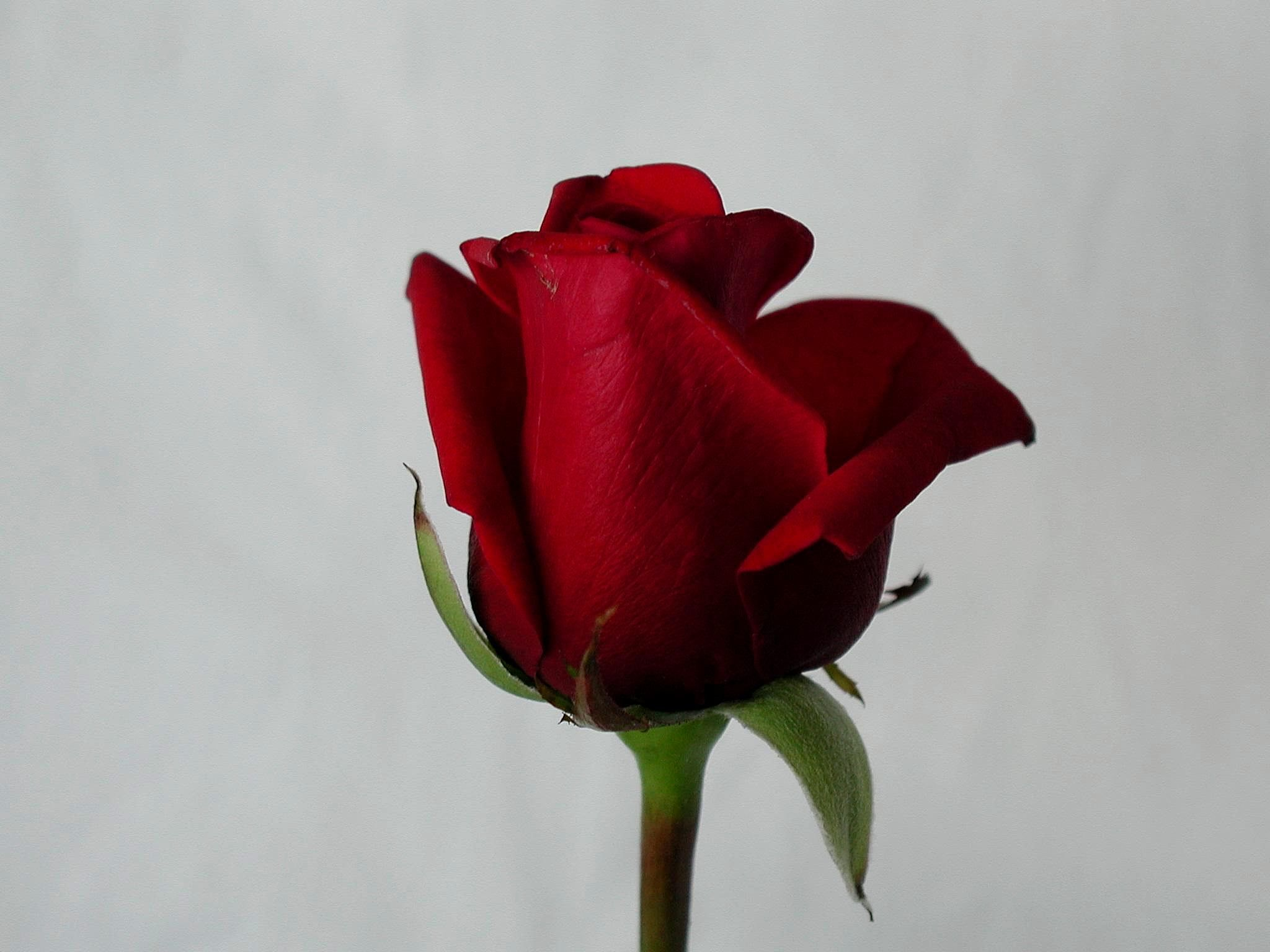red red rose essay