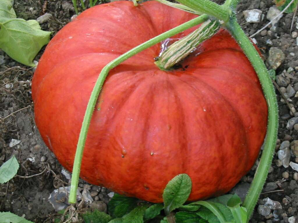 Image result for rouge vif d'etampes pumpkin
