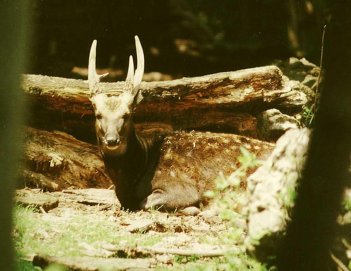 Visayan Spotted Deer Wikipedia The Free Encyclopedia