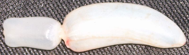 Photo of white bladder that consists of a rectangular section and a banana-shaped section connectd by a much thinner element