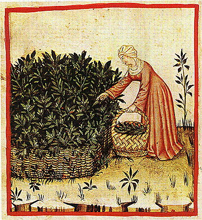 Woman gathering sage, 14th century, Theatrum Sanitatis