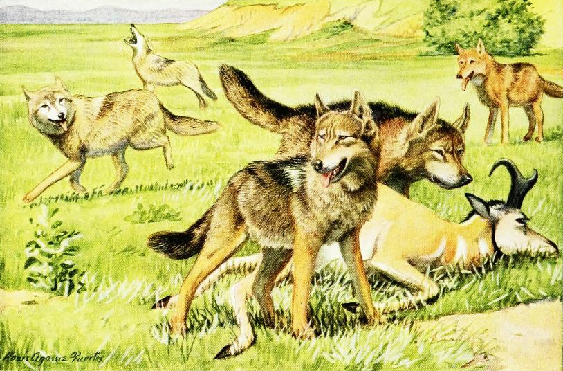File:The book of dogs (1919) Timber wolf and coyote png - Wikimedia