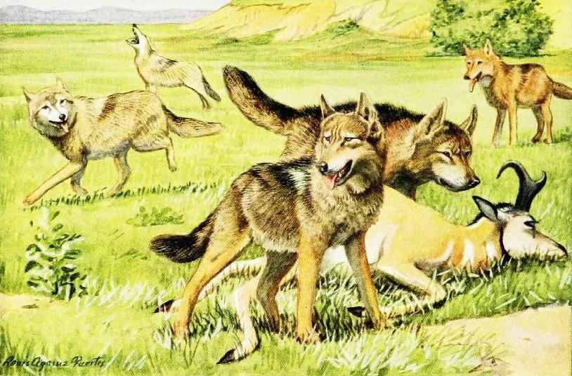Coyote America: A Natural and Supernatural History: Dan ...