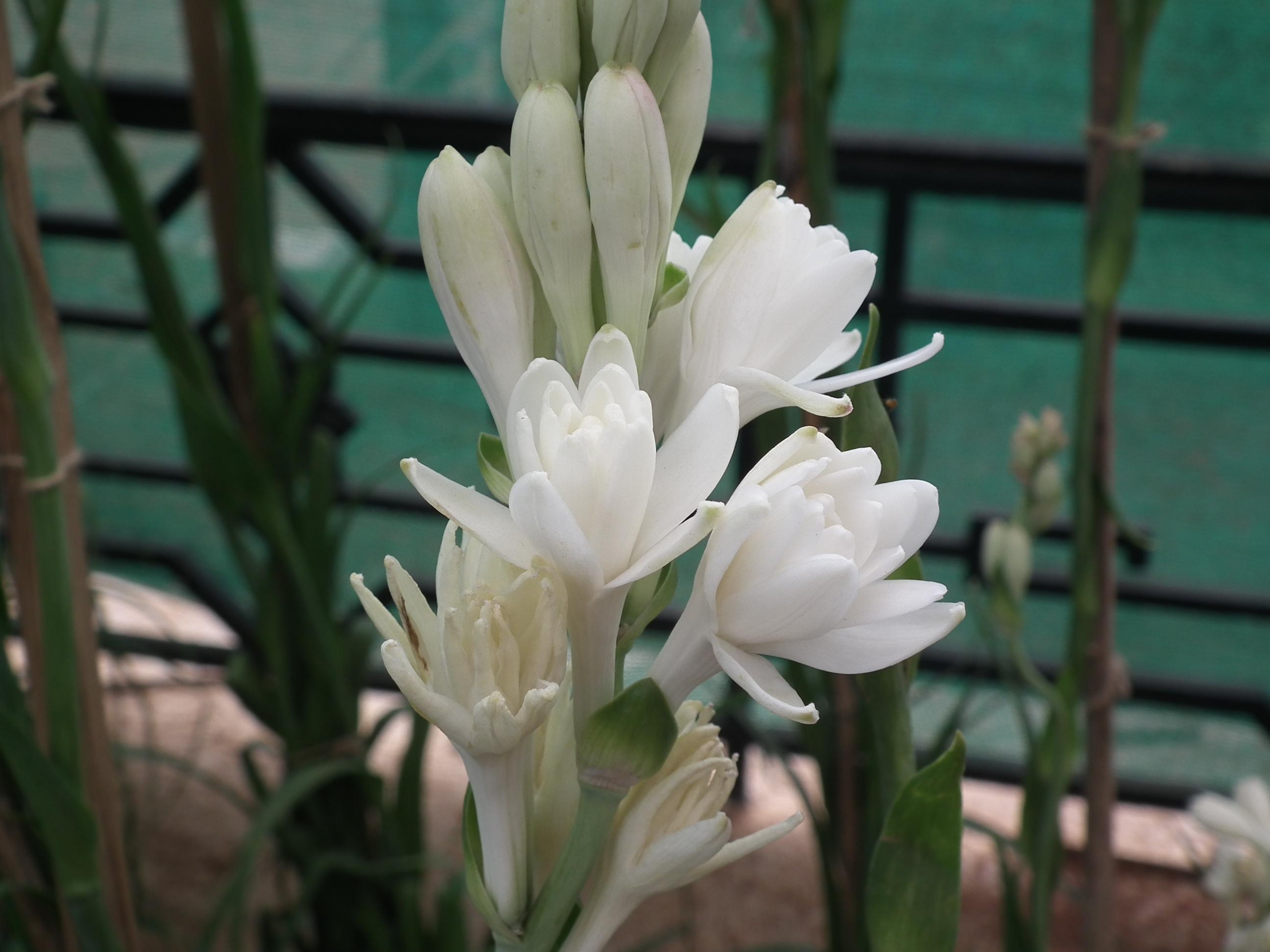 قشنگترین عکس گل مریم