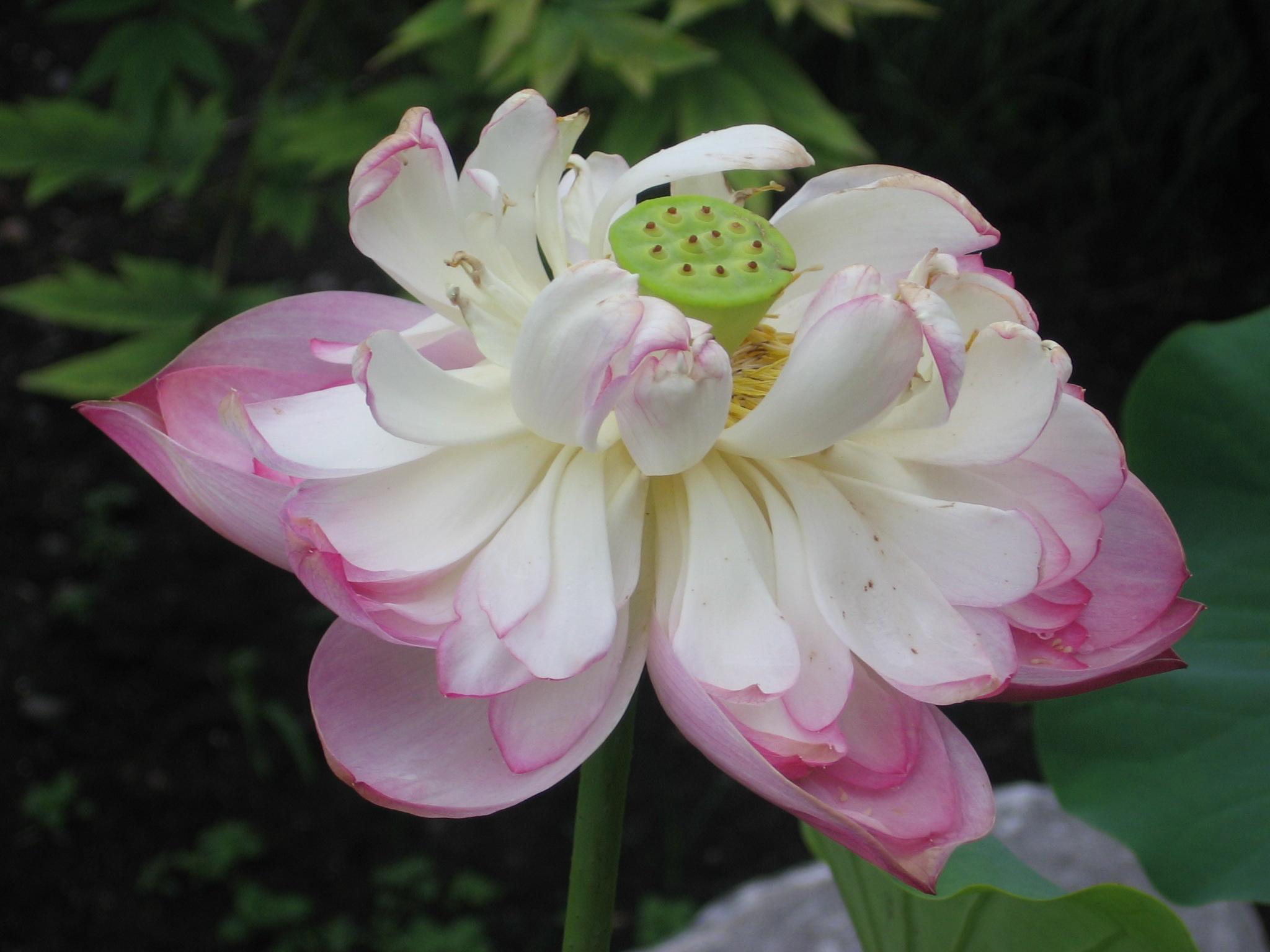 File Une Belle Fleur Jpg Wikimedia Commons
