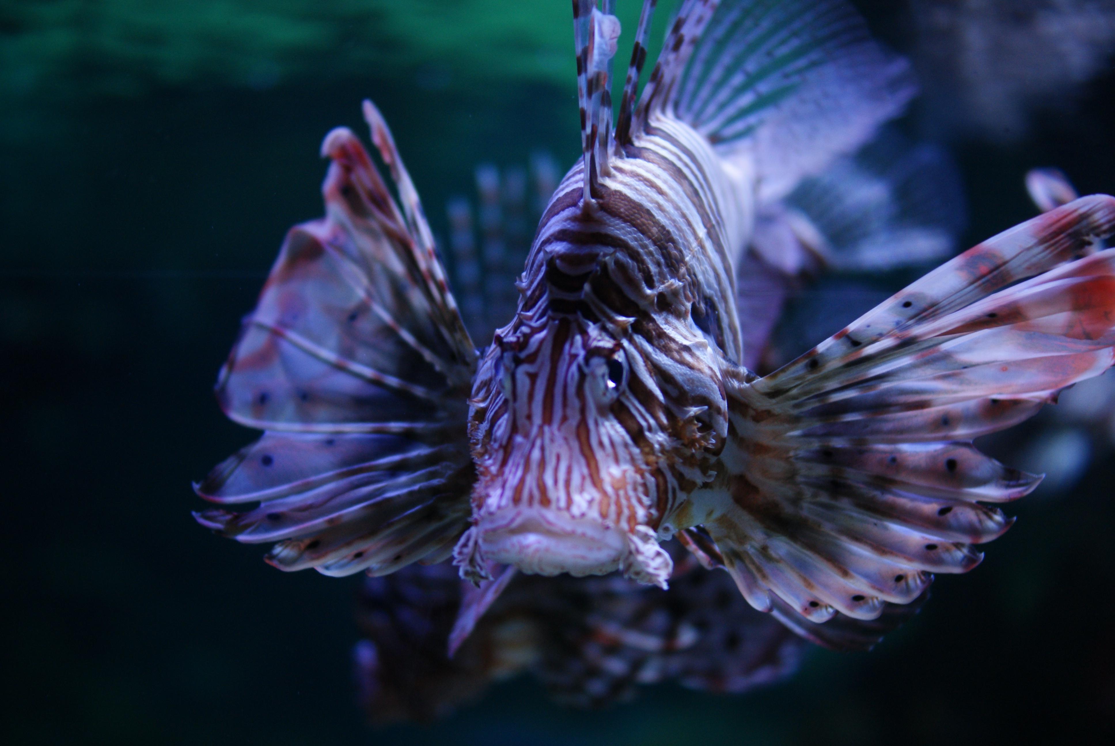 ... Pterois in Tropicarium-Oceanarium Budapest 01.JPG - Wikimedia Commons