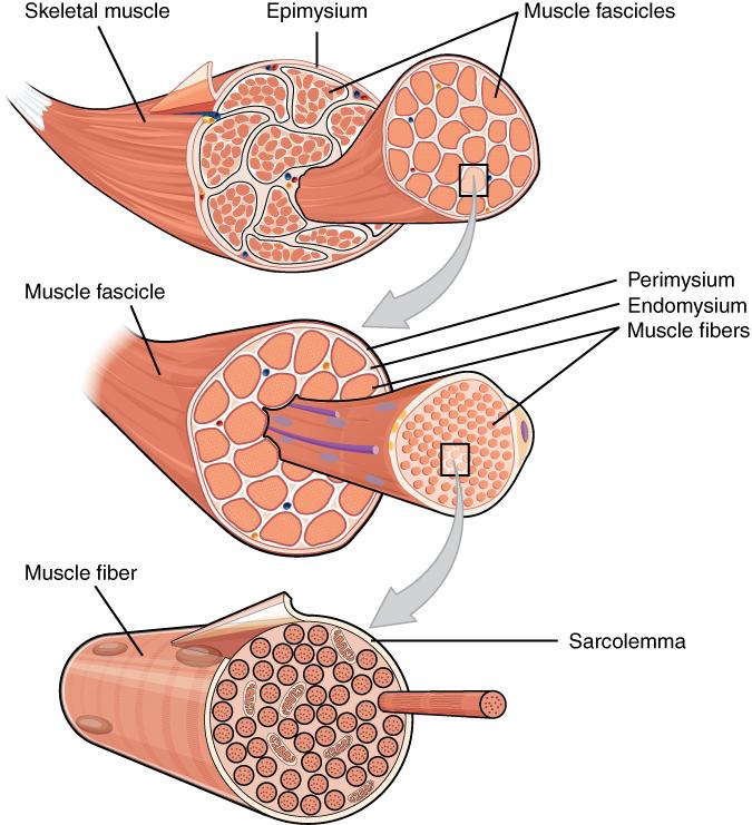 Skelettmuskeln är uppbyggd av många fiberbuntar (fascikler). Fiberbunten är uppbyggd av många muskelfibrer. Muskelfibern är uppbyggd av många myofibriller.