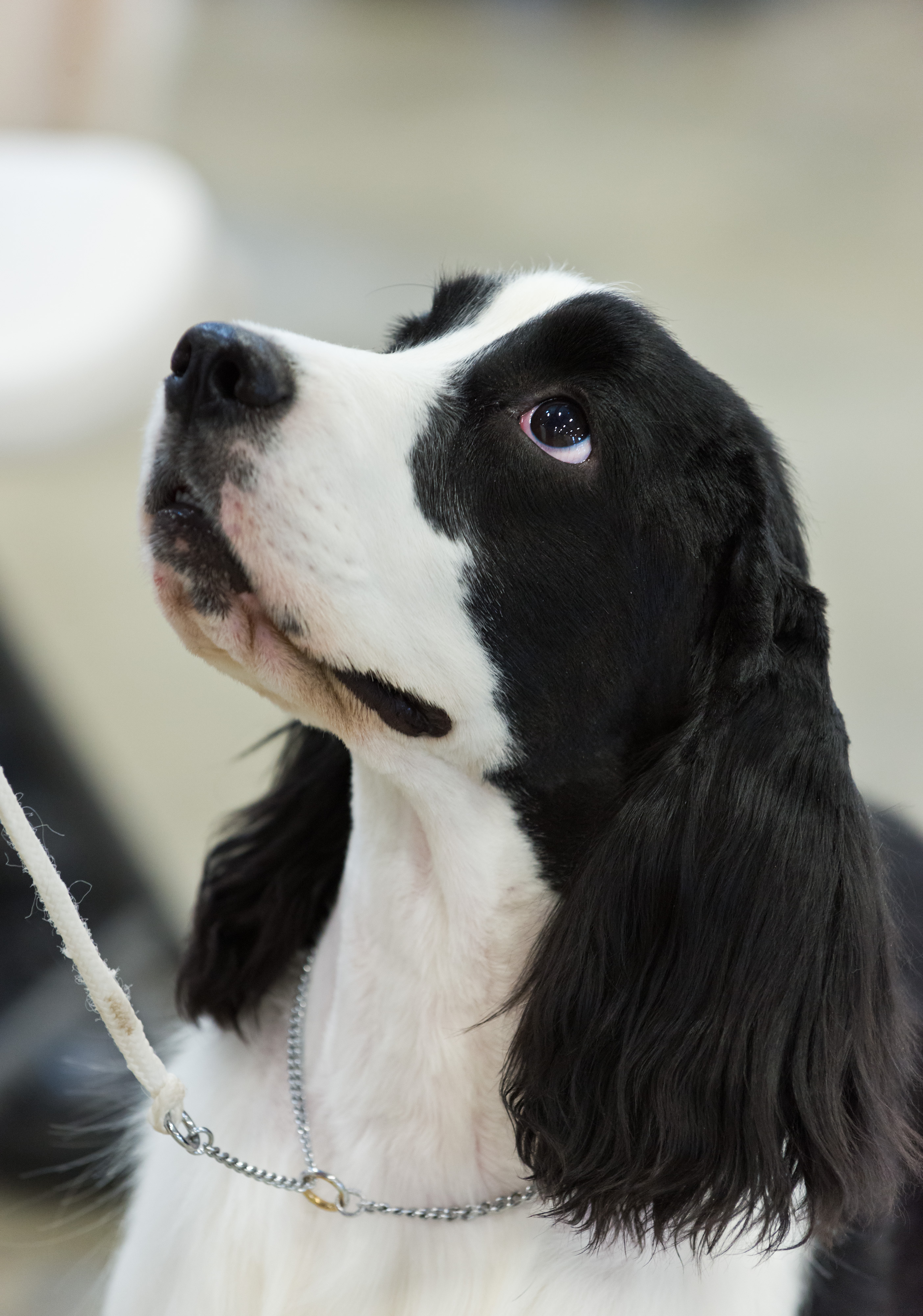 Cocker Spaniel Puppies For Sale In Myrtle Beach Sc