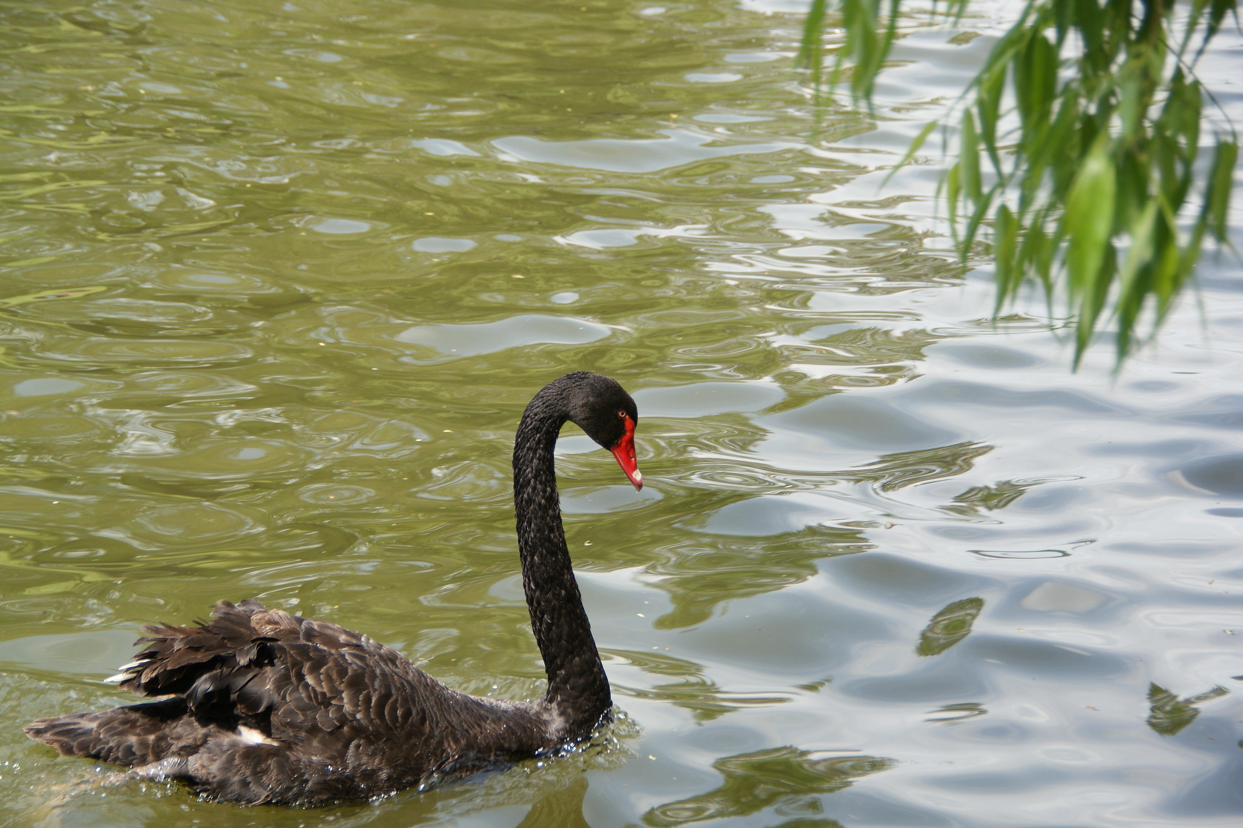 A black swan on Herăstrău Lake (5676919263).jpg