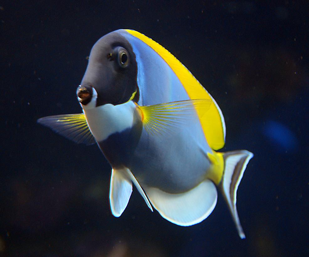 About Blue Tang >> ปลาขี้ตังเบ็ดฟ้าอกขาว - วิกิพีเดีย