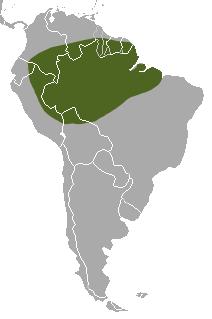 Amazon weasel species of mammal