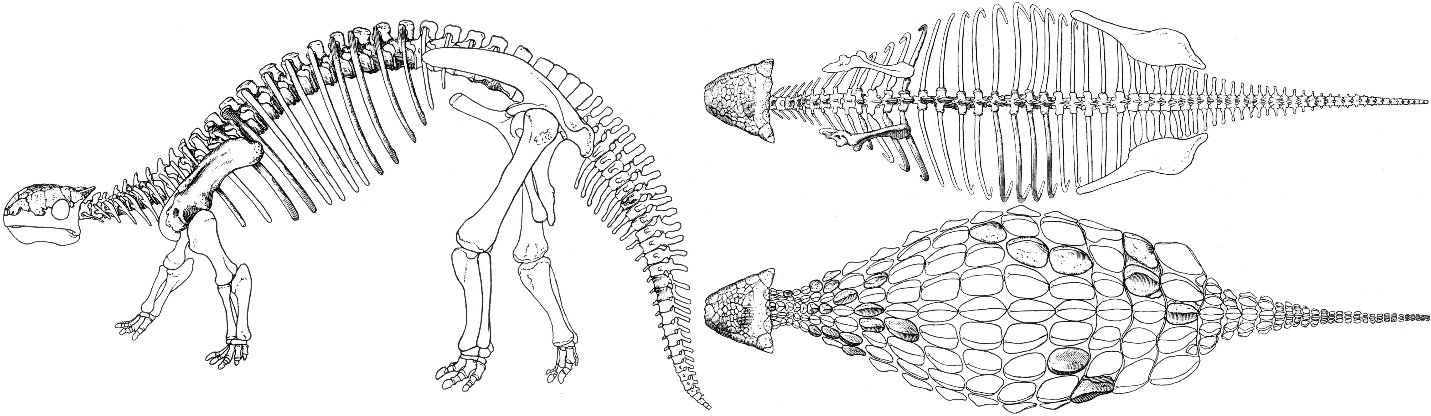 file ankylosaurus jpg wikimedia commons