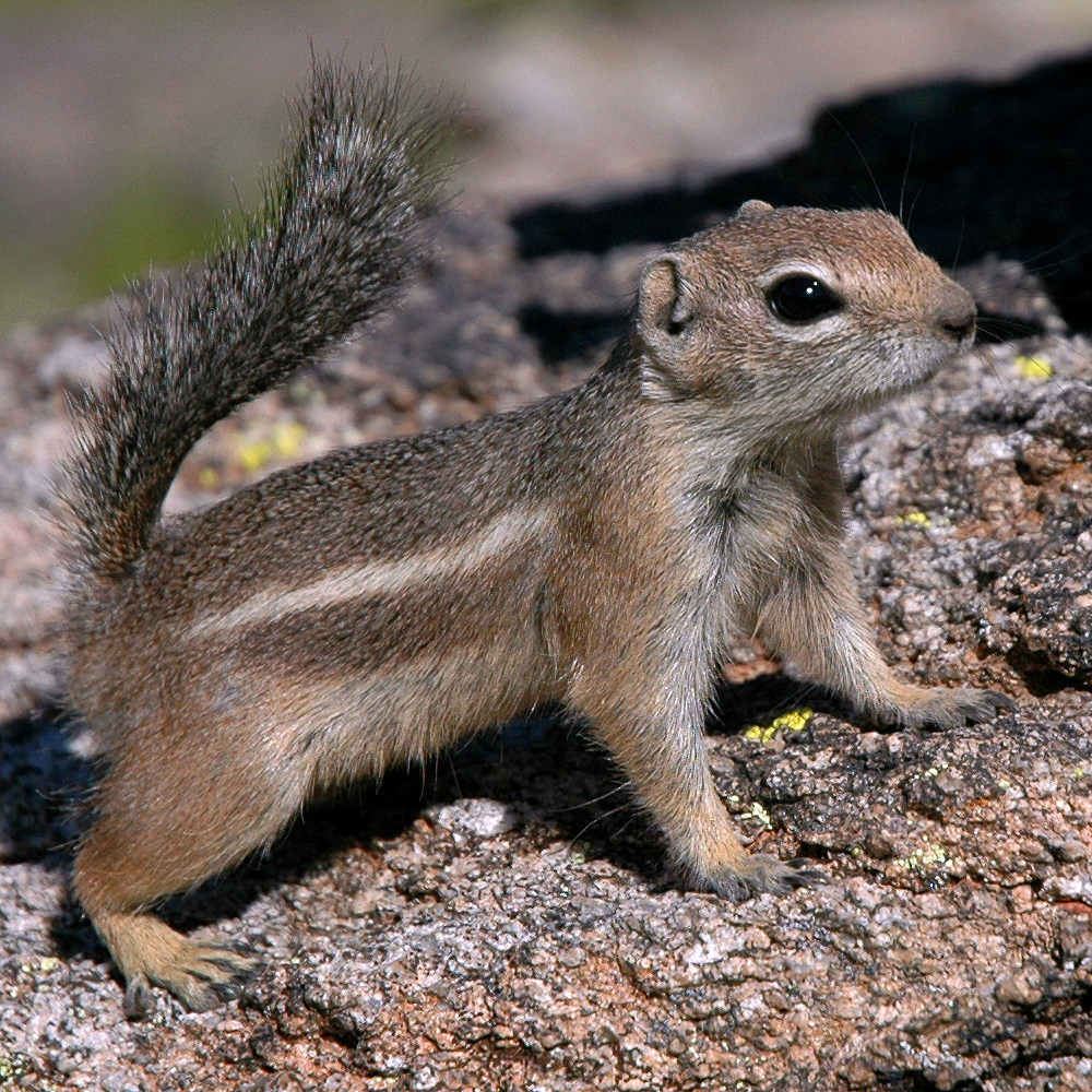 file antelope squirrel phoenix arizona jpg wikipedia