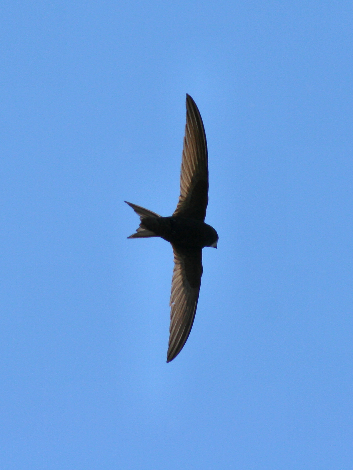 Swift - Wikipedia
