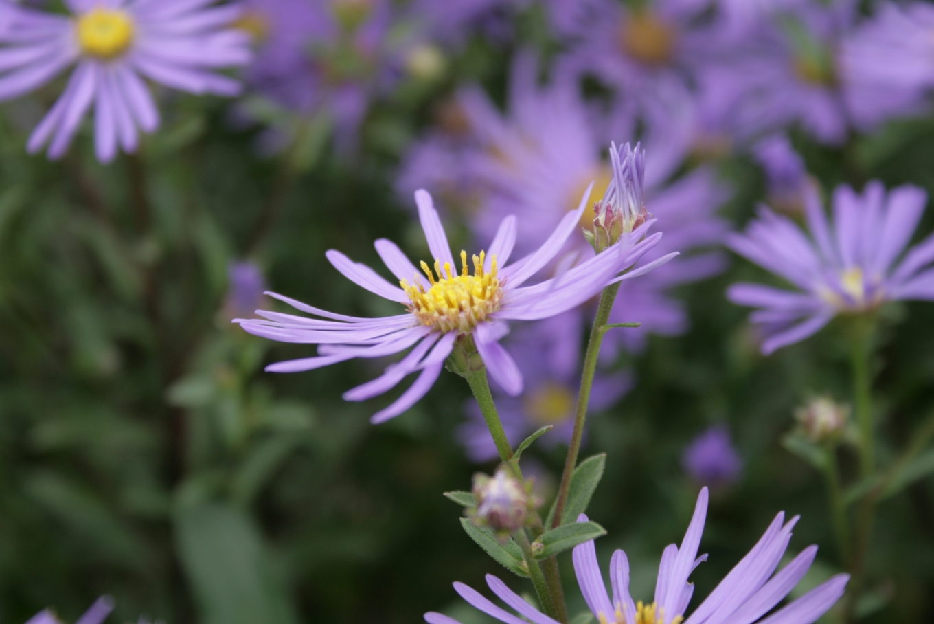 File Aster amellus flower Wikimedia mons