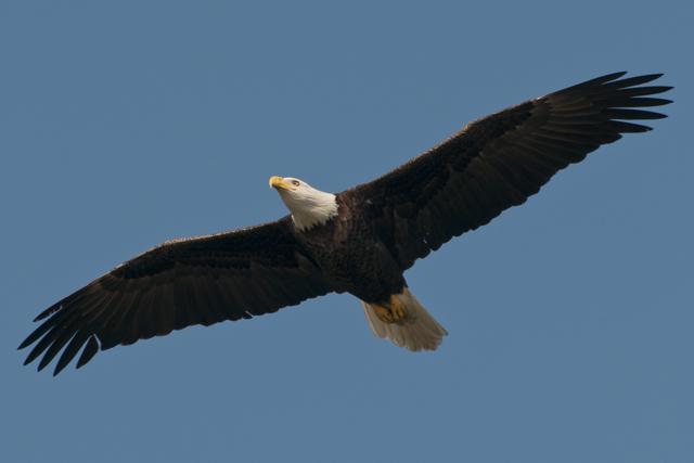 A Bald Eagle In Flight, #Eagle