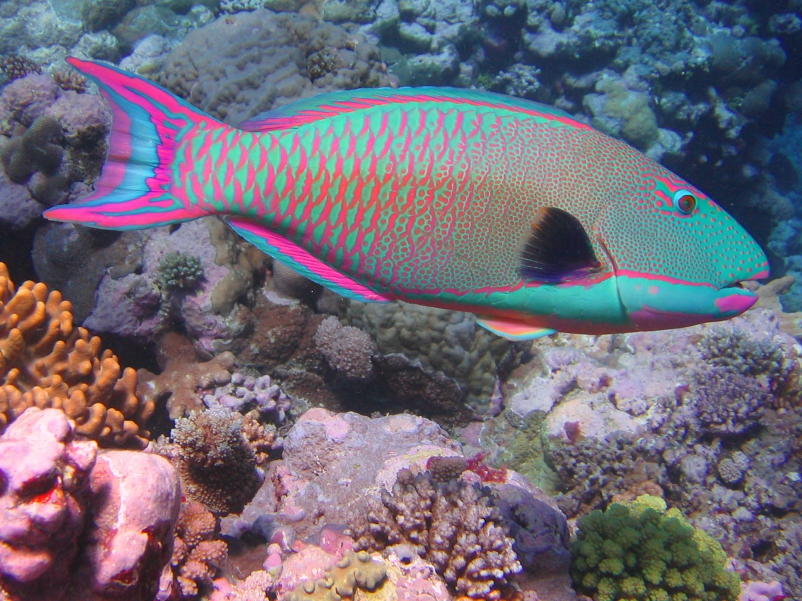 File bicolor parrotfish jpg wikipedia for Fish of hawaii
