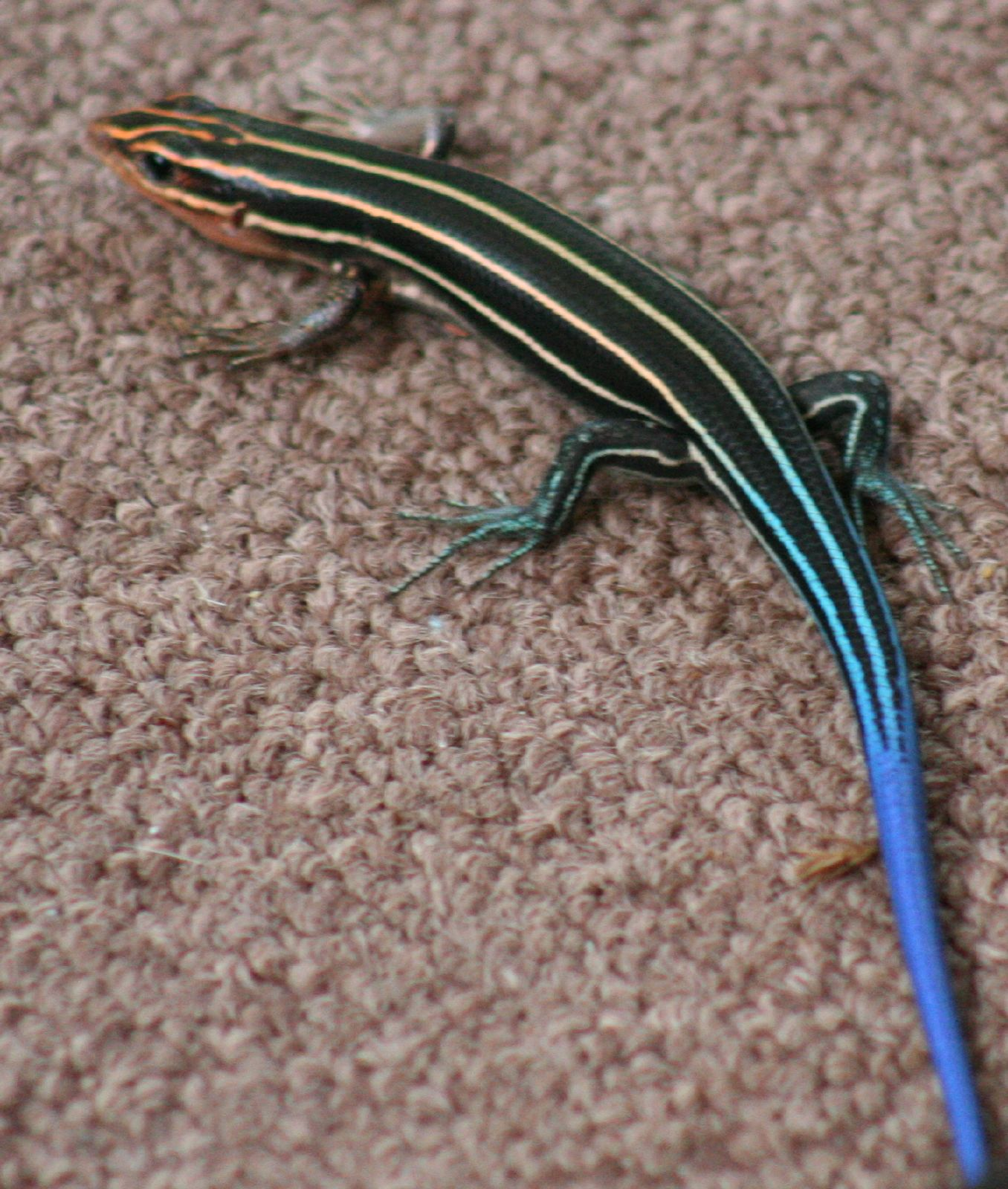 Blue Tail Lizards 3